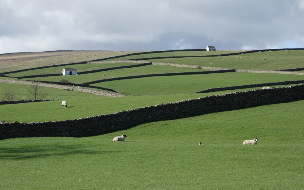 DSC03993_bowlees_stone_walls_sheep